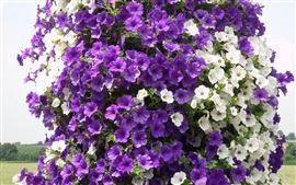 Preview wallpaper Purple and white petunias flowers