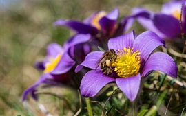 Preview wallpaper Purple anemone flowers macro photography, bee