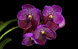 Preview wallpaper Purple orchids, black background