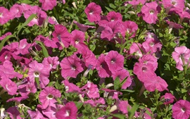 Preview wallpaper Purple petunias flowers in sunshine