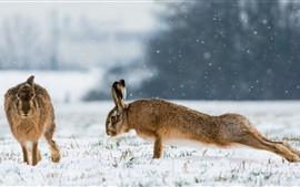 Preview wallpaper Rabbits, pushups, snow, winter