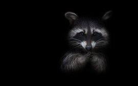 Raccoon, black background