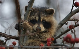Raccoon on tree, red berries