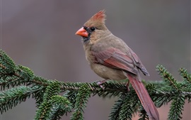 Preview wallpaper Red cardinal bird, pine twigs