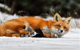 Red fox lying on snow