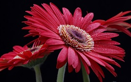 Preview wallpaper Red gerbera flowers, water drops