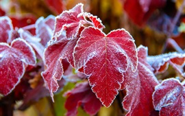 Preview wallpaper Red leaves, frost, cold