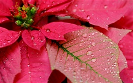 Preview wallpaper Red leaves, water drops, macro photography