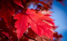 Preview wallpaper Red maple leaf close-up, autumn
