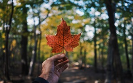 Красный кленовый лист, рука, лес, размытый фон