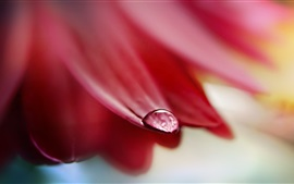Pétalos rojos, una gota de agua, fotografía macro