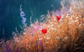 Preview wallpaper Red poppies flowers, grass, summer