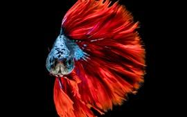 Aperçu fond d'écran Poisson queue rouge