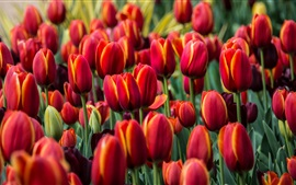 Preview wallpaper Red tulips, flowers field
