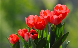 Preview wallpaper Red tulips, under sun