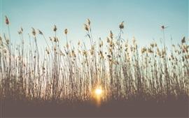 Reeds, grass, sunset, summer