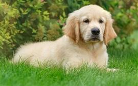 壁紙のプレビュー レトリーバー、かわいい子犬、草