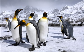 Preview wallpaper Royal penguins, snow, mountains