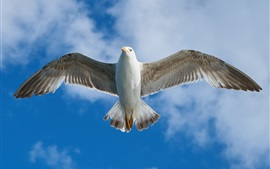 Preview wallpaper Seagull flight, wings, feathers, bottom view, sky, clouds