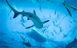 Tubarão, mergulho, mar azul, água, debaixo d'água