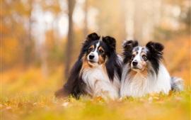 Shetland Sheepdog, deux chiens, bokeh
