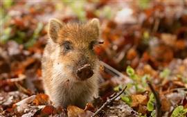 Pequeño cerdo, hojas, otoño