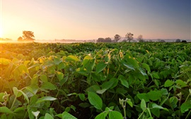 Preview wallpaper Soybean field, fog, dawn, morning
