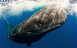 Preview wallpaper Sperm whale, underwater, sea