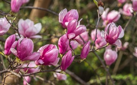 Flores de primavera, magnolia rosa