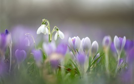 Preview wallpaper Spring flowers, snowdrops, crocuses