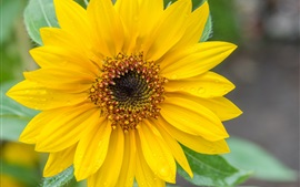 Preview wallpaper Sunflower, yellow petals, water drops