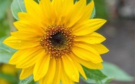 壁紙のプレビュー ひまわり、黄色い花びら、水滴