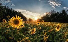 Preview wallpaper Sunflowers, sunset, clouds, summer