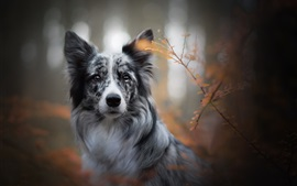 Preview wallpaper The border collie front view, face