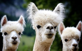 Preview wallpaper Three alpacas front view, furry