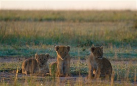 Preview wallpaper Three lion cubs