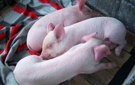 미리보기 배경 화면 3 마리의 작은 돼지가 꿈에서 자고있다.