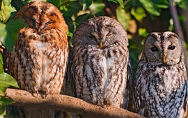 Preview wallpaper Three owls rest in tree