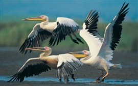 Preview wallpaper Three pelicans flying, wings