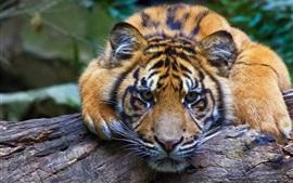 Tiger olha para você, vista frontal