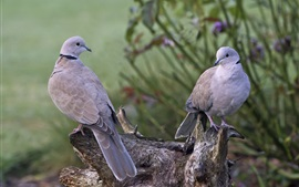 Preview wallpaper Two gray pigeons, birds, stump