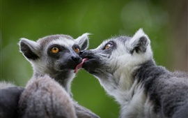 Preview wallpaper Two lemurs playful