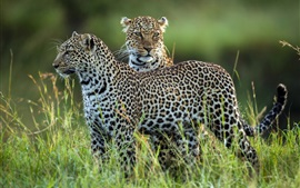 Preview wallpaper Two leopards, grass, wildlife