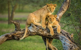 Preview wallpaper Two lion cubs in tree