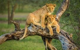 Dois filhotes de leão na árvore