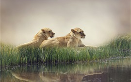 Two lions rest, pond, reeds