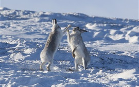 Preview wallpaper Two rabbits playful in the snow, winter