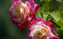 Dos rosas, pétalos rosados y blancos