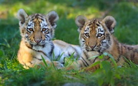 Preview wallpaper Two tiger cubs rest in the grass