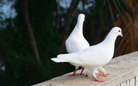 Preview wallpaper Two white pigeons